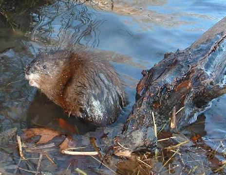 We provide muskrat control programs for lakes, ponds, and waterways. Subdivision lakes, golf course ponds, and other manicured  shoreline properties often receive damage from muskrat burrowing activities.
